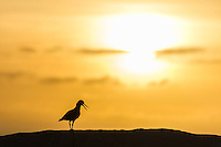 Silhouette of an African Black Oystercatcher at dusk, Malgas Island, West Coast National Park, Western Cape, South Africa