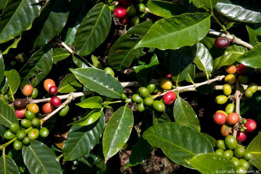 Ripening Kona Coffee Cherry, grown on the Big Island of Hawaii in Kona