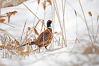 First snows of the season make the Ring Necked Pheasants stand out no matter how hard they try and hide.