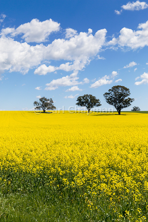 trees in a field of flowering canola crop under blue sky and cumulus cloud near Cudal, News South Wales, Austraila. <br />