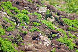 bird, Atlantic Puffins Fratercula arctica nesting burrows on breeding colony, Newfoundland CANADA