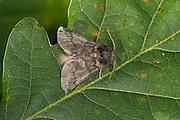 Eichen-Prozessionsspinner, Prozessionsspinner, Eichenprozessionsspinner, Thaumetopoea processionea, Oak Processionary, oak processionary moth