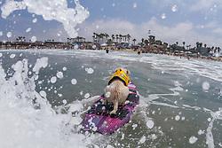 July 29, 2017 - Imperial Beach, CA, US - Surfdog returns to Imperial Beach for the twelfth  year...Sugar surfing. (Credit Image: © Daren Fentiman via ZUMA Wire)