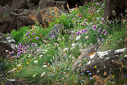 Wildflowers growing on cliffs at The Lizard Peninsula, Cornwall. Including chives, wild carrot, sorrel, sheep's bit scabious