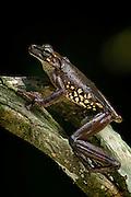 Giant Broad-headed Treefrog (Osteocephalus taurinus)<br /> Rain Forest<br /> Iwokrama Reserve<br /> GUYANA<br /> South America<br /> RANGE: Bolivia, Brazil, Colombia, Ecuador, French Guiana, Guyana, Peru, Suriname & Venezuela