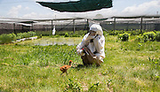 A young Whooping Crane looks to the costume as it's mother bearing food in it's first week of life at the International Crane Foundation.  Nine Whooping Cranes were raised by a costumed aviculturist so that there will be no human imprint during the Direct Autumn Release program.  The program raises the chicks from hatch until their release in the fall in an reintroduction effort to increase the numbers of the rare Whooping Crane.