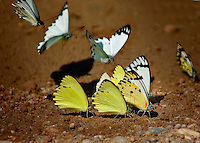 Puddling Butterflys