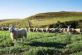 Sorting Cheviot Mule Lambs