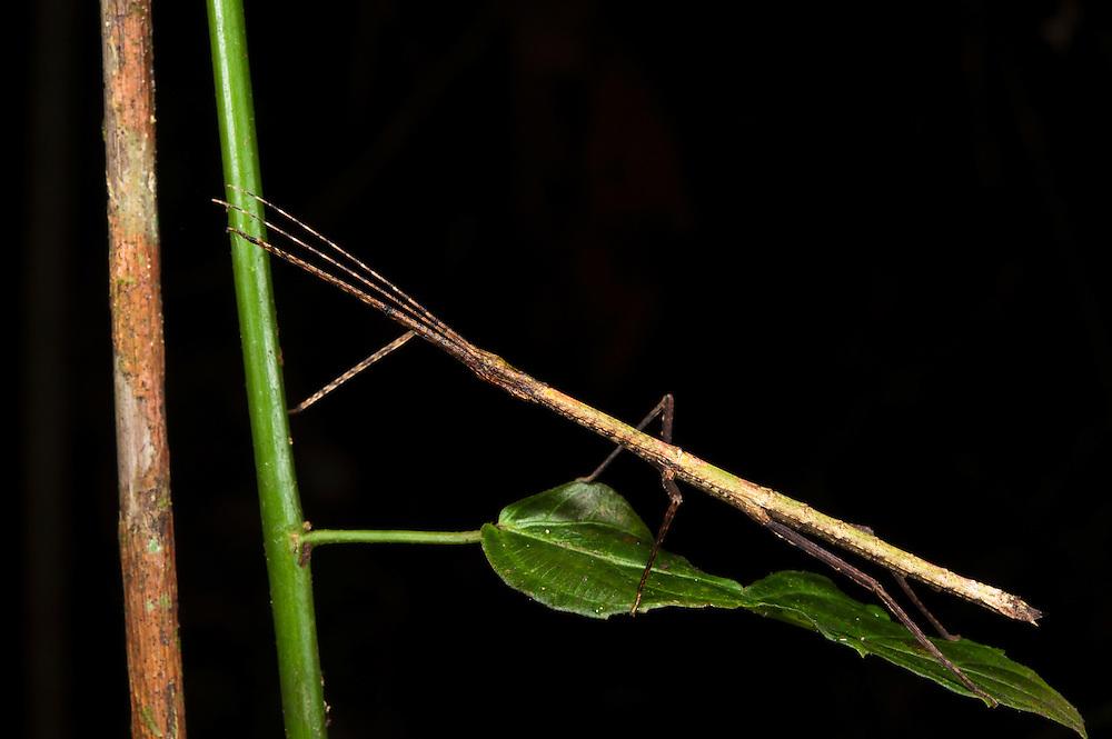 Stick Insect (Phasmatodea)<br /> Yasuni National Park, Amazon Rainforest<br /> ECUADOR. South America<br /> HABITAT & RANGE: Found globally in warmer areas especially in tropics and subtropics. Greatest diversity in South Asia, South America and Australia.