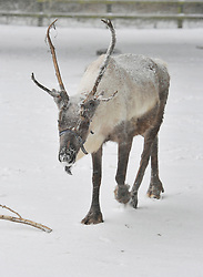 © Licensed to London News Pictures. 18 January 2013. Burford Oxfordshire. Snow hits Oxfordshire today. Reindeer enjoy the snow at the Cotswold Wild Life Park near Burford. Photo credit : MarkHemsworth/LNP
