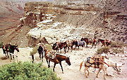 07 AUGUST 2000 - SUPAI, AZ: A muletrain comes up the canyon trail from the village of Supai on the Havasupai Indian reservation in northern Arizona, Aug. 7. There are no roads or rail service into Supai, a village of 600 people on the floor of the Grand Canyon, west of the Grand Canyon National Park, so the mail is delivered by mule train. The wranglers who lead the mules down to the village haul everything from letters and postcards to fresh produce and refrigerated foods. The mail is hauled down the steep mountain slopes five days a week rain or shine. It normally takes about three hours to haul the mail down. The mule wranglers are self employed contractors and have to provide all of their own mules and equipment. Although the muletrain delivery of the mail is unusual, the Postal Service uses whatever mean necessary to deliver the mail, including sled dogs in Alaska and boats in other areas. Because of budget shortfalls, the US Postal Service is threatening to close the post office in Supai.   PHOTO BY JACK KURTZ