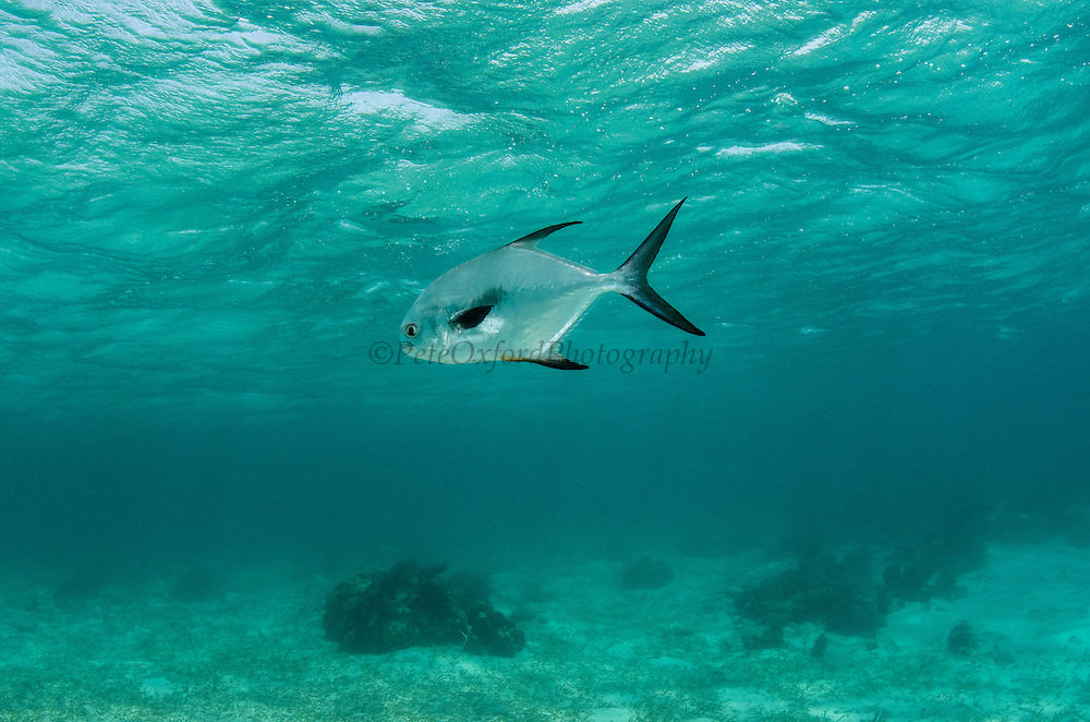 Permit (Trachinotus falcatus)<br /> Hol Chan Marine Reserve<br /> near Ambergris Caye and Caye Caulker<br /> Belize Barrier Reef, second largest barrier reef in the world<br /> Belize<br /> Central America