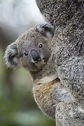 Koala <br /> Phascolarctos cinereus<br /> Ten-month-old baby<br /> Queensland, Australia<br /> *Captive