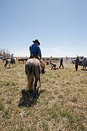 Cowboys, dragging calves to the fire, branding, Lazy SR Ranch, Wilsall, Montana, Dewey Zupan, Kurt Mraz
