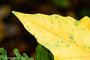 The leaf of this big-leaf maple has turned yellow in the fall as the chlorophyl begins to break down.