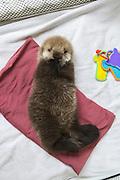 Sea Otter <br /> Enhydra lutris<br /> Three-week-old orphaned pup<br /> Alaska Sea Life Center, Seward, Alaska