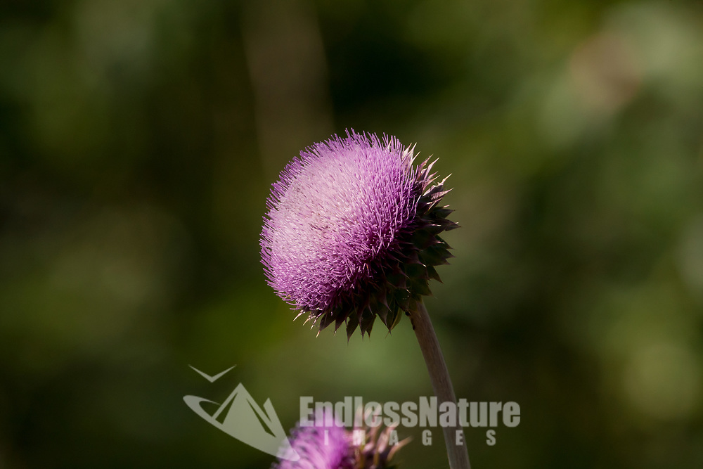 Musk Thistle is not a wildflower but considered an Invasive weed species.