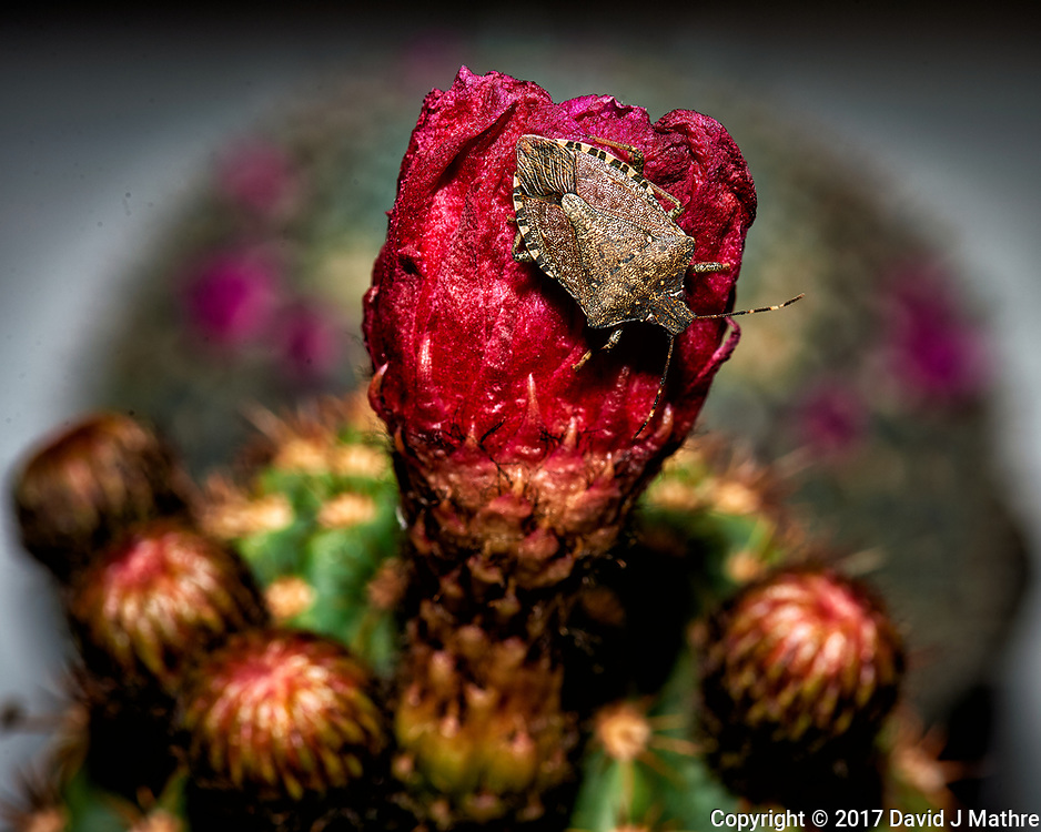 Stink bug on an old cactus bloom. Indoor spring nature in New Jersey. Image taken with a Nikon Df camera and 105 mm f/2.8 VR macro lens (ISO 100, 105 mm, f/16, 1/125 sec) + SB-910 flash).