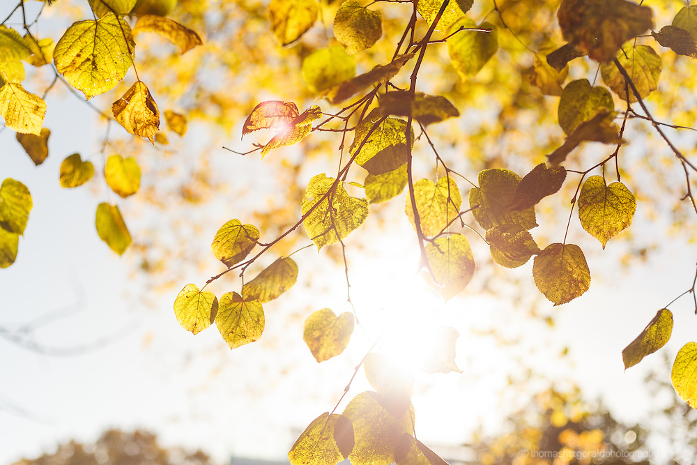 Autumn in Ireland, 2012: green and yellow leaves blow gently in the wind as the golden Autumn Sun which shines through the branches.