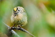"""The Goldcrest, Regulus regulus, is a very small passerine bird in the kinglet family. Its colourful golden crest feathers gives rise to its English and scientific names, and possibly to it being called the """"king of the birds"""" in European folklore."""