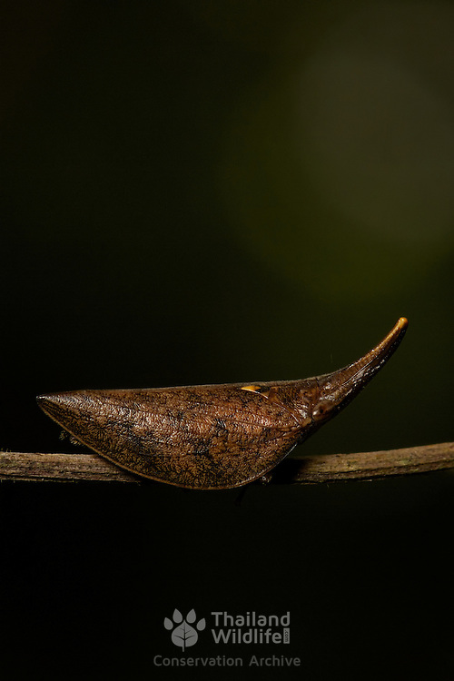 Cercopoidea planthopper in Khao Yai National Park, Thailand.