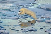 Jumping polar bear on sea ice in Barrow Strait just south of Cornwallis Island in Nunavut, Canada.
