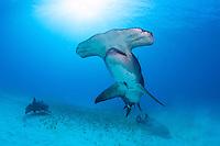 Great Hammerhead Shark, Nurse Sharks, and Sunball<br /> <br /> Shot in Bahamas