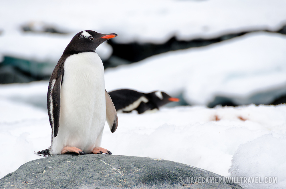 A Gentoo penguin stands on a smooth grey rock at Hydrurga Rocks on Two Hummock Island in the Antarctic Peninsula while other penguins lie on the ice in the background.