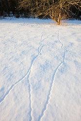 Rodent tracks in the snow at the Willowbrook Farm Preserve in Pembroke, Massachusetts.