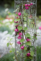 Rhodochiton atrosanguineus syn. R. volubile AGM growing up a metal arch in the cutting garden - Purple bell vine