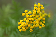 Common Tansy, Bass Harbor, Maine