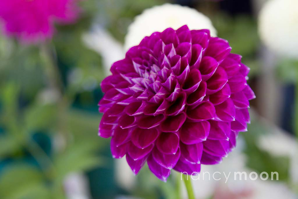 Ball Dahlia<br /> <br /> *For all details about sizes, paper and pricing starting at $85, click &quot;Add to Cart&quot; below.
