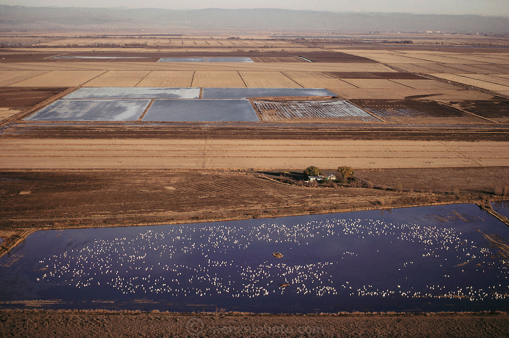 Rice: Snow Geese on flooded rice fields. Butte County, Northern California, USA. 1990.