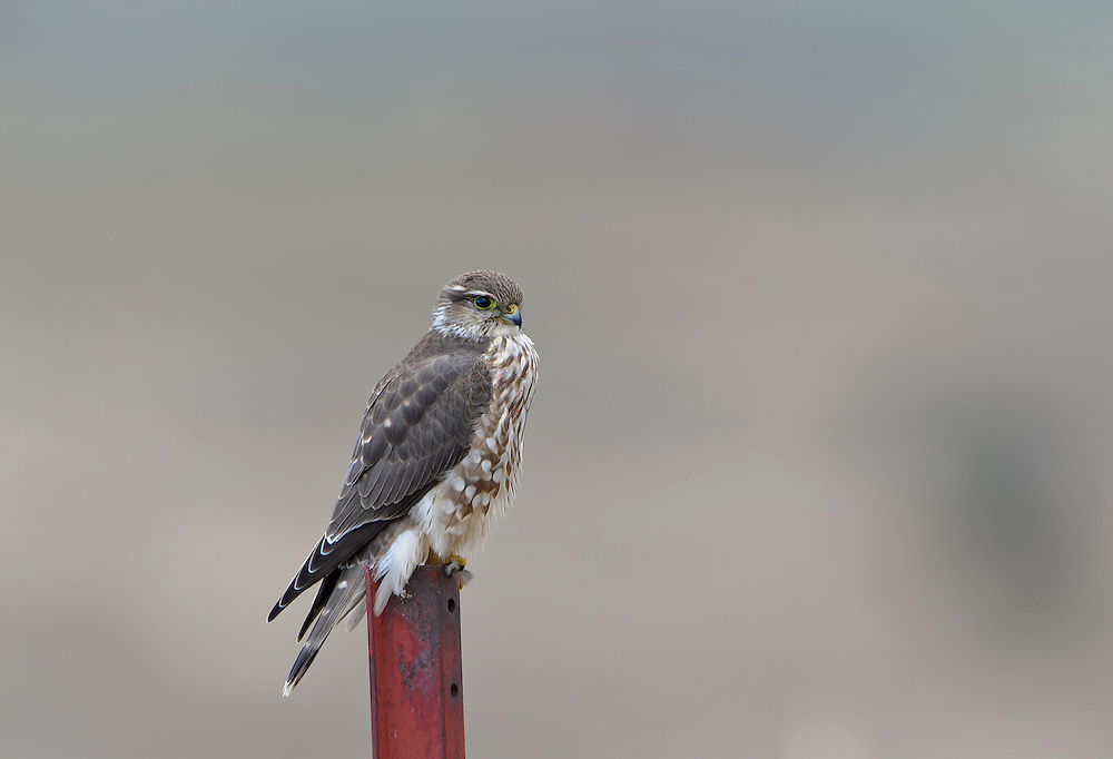 Prairie Falcon perched on a pole, Western Montana
