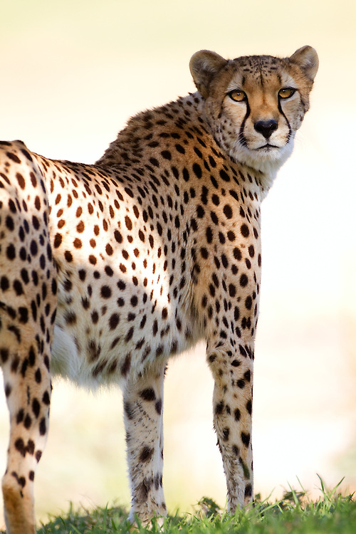 Curious cheetah staring back over its shoulder with the sun highlighting its beautiful spotted coat.