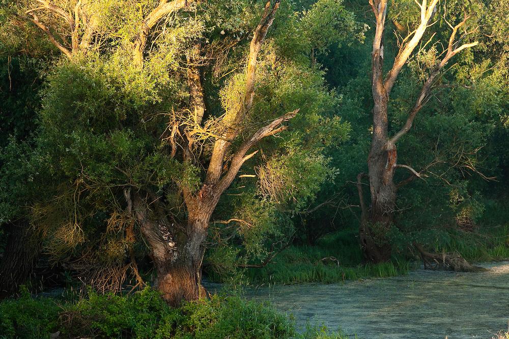 Old growth forest of black poplars (Populus nigra), Gornje Podunavlje Special Nature Reserve, Serbia