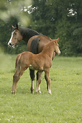 Foals and mares on the meadow in springtime<br /> Kieldrecht 2005<br /> Photo© Dirk Caremans
