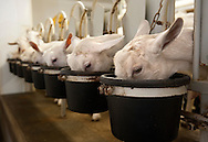 BLOOMSDALE, Mo. &ndash; OCT. 8, 2015: Dairy goats are fed while being milked at Baetje Farms LLC in Bloomsdale, Mo., Thursday, Oct. 8, 2015. Steve Baetje, who owns and operates the dairy with his wife Veronica. Goat cheeses made at Baetje Farms have won major national awards and the respect of cheese aficionados across the country.<br /> <br /> CREDIT: Sid Hastings for The New York Times
