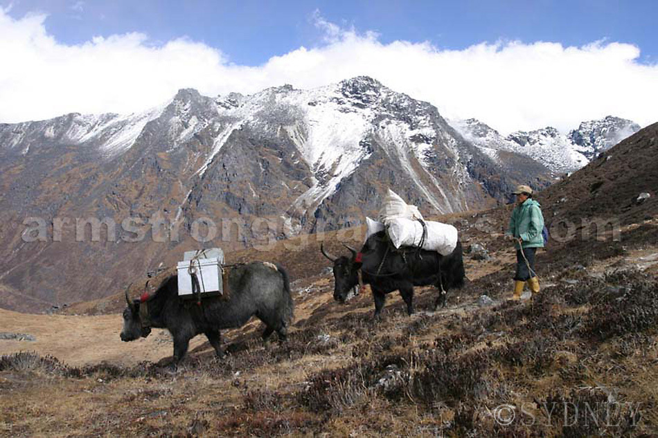 Dzos carrying the gear, trekking the Singalila Ridge, Sikkim, Southern Himalayas
