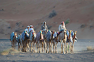 Camle Trek at Sand dunes, near Al Qabil, Oman, Arabian Peninsula