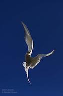 Arctic terns (Sterna paradisaea) fly zig-zag 12,500 miles (20,000 kilometers) from Antarctica to Africa to Spitsbergen island each summer; Ny-Alesund, Kongsfjorden, Svalbard.