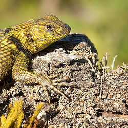 Pinchete espinoso (Sceloporus malachiticus) Green Mexican Spiny Lizard warming up under the last evening sun at El Triunfo Reserve, Chiapas. Mexico