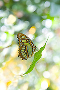 Butterfly on leaf with  abstract green garden background.