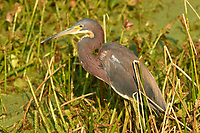 Tricolored Heron (Egretta tricolor),  Wakodahatchee Wetlands, Delray Beach, Florida, USA   Photo: Peter Llewellyn