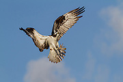 Osprey returning to nest, Everglades National Park, Florida, USA