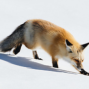 A red fox searches and catches dinner in winter in the Hayden Valley of Yellowstone.