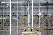 Nederland, Monster, 4-4-2008..Werknemers uit Polen aan het werk in een kas in het kassengebied van het westland. Er wordt groente in gekweekt. Het gebied tussen Naaldwijk en de kust is  belangrijk vanwege de tuinbouw. Hier liggen de kassen tussen de rand van de bebouwde kom en de duinen...Foto: Flip Franssen