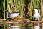 Forster's Terns, Sterna forsteri, South Dakota