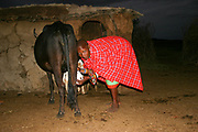 night photography of a Maasai woman as she milks a cow. Maasai is an ethnic group of semi-nomadic people Photographed in Tanzania,