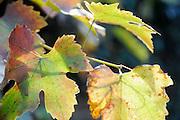 Nederland, Ubbergen, 5-11-2011Verkleurde blaadjes in de herfst.Foto: Flip Franssen/Hollandse Hoogte